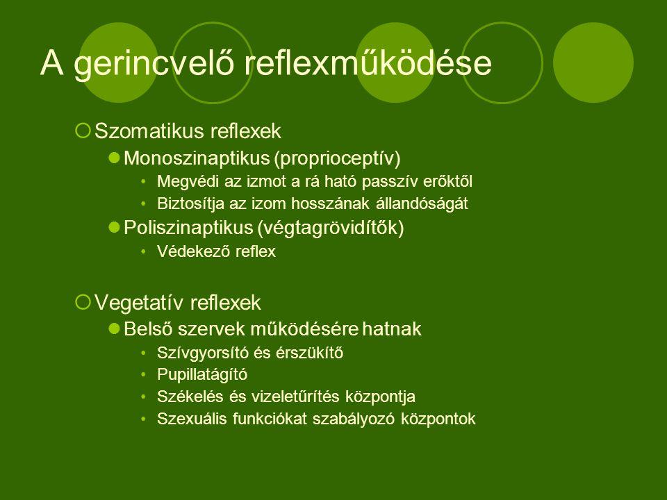 A gerincvelő reflexműködése  Szomatikus reflexek Monoszinaptikus (proprioceptív) Megvédi az izmot a rá ható passzív erőktől Biztosítja az izom hosszának állandóságát Poliszinaptikus (végtagrövidítők) Védekező reflex  Vegetatív reflexek Belső szervek működésére hatnak Szívgyorsító és érszükítő Pupillatágító Székelés és vizeletűrítés központja Szexuális funkciókat szabályozó központok