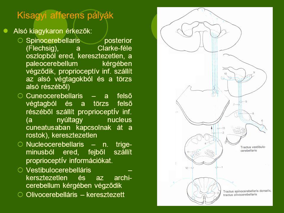 Kisagyi afferens pályák Alsó kiagykaron érkezők:  Spinocerebellaris posterior (Flechsig), a Clarke-féle oszlopból ered, keresztezetlen, a paleocerebellum kérgében végződik, proprioceptív inf.