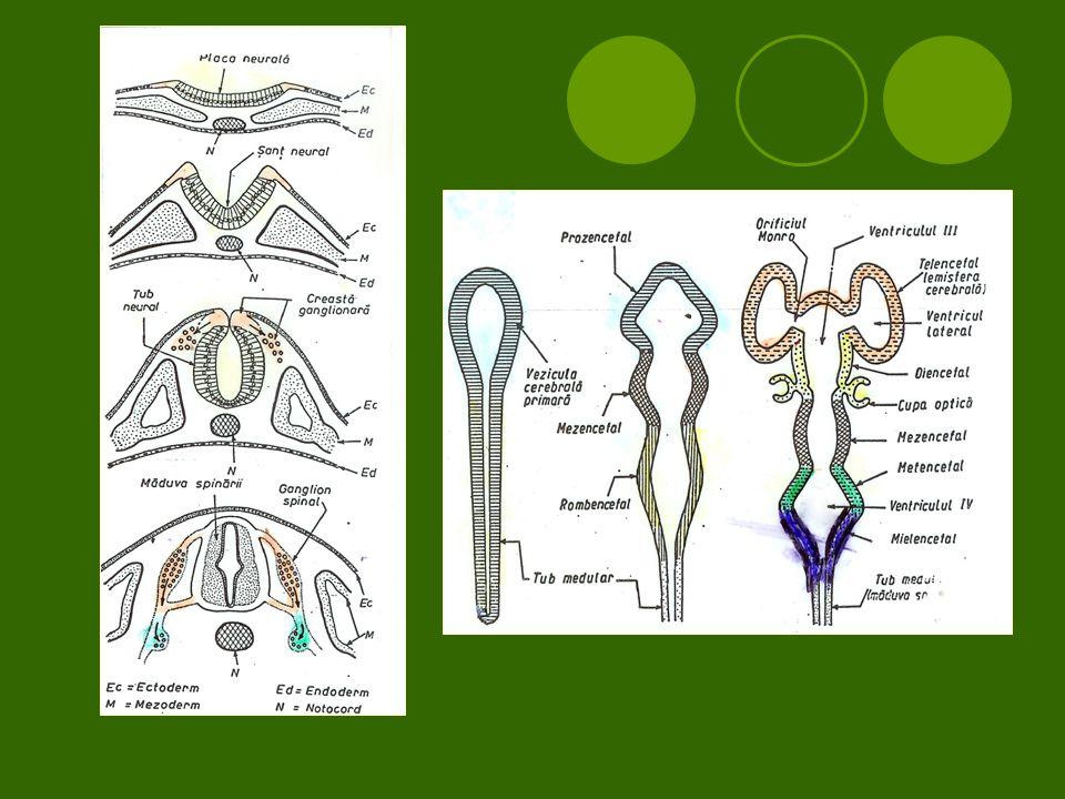Proprioceptív reflex  Receptor –izomorsó  Afferens szár gv, ideg szomatikus része, érző idegrostok  Központ, gv.
