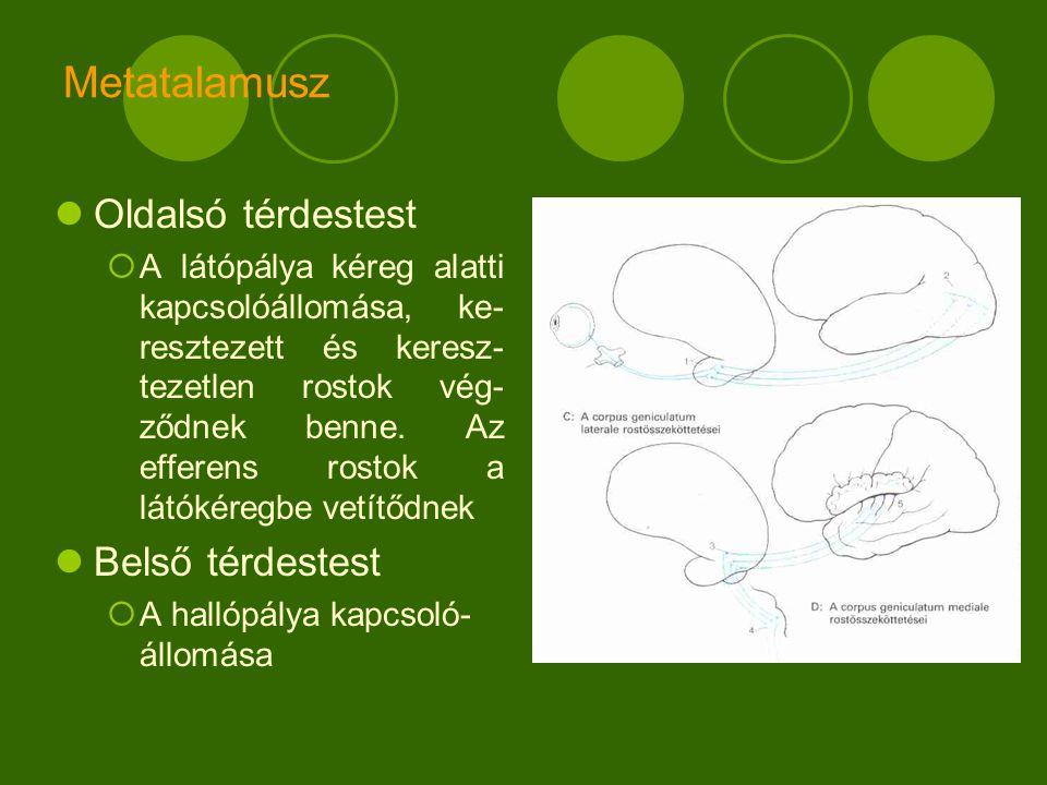 Metatalamusz Oldalsó térdestest  A látópálya kéreg alatti kapcsolóállomása, ke- resztezett és keresz- tezetlen rostok vég- ződnek benne.