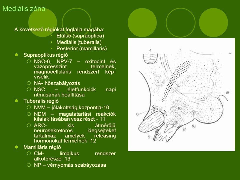 Mediális zóna A következő régiókat foglalja magába: Elülső (supraoptica) Mediális (tuberalis) Posterior (mamillaris) Supraoptikus régió  NSO-6, NPV-7 – oxitocint és vazopresszint termelnek, magnocelluláris rendszert kép- viselik  NA- hőszabályozás  NSC – életfunkciók napi ritmusának beállítása Tuberális régió  NVM – jólakottság központja-10  NDM – magatatartási reakciók kilalakításában vesz részt - 11  ARC- kis átmérőjű neurosekretoros idegsejteket tartalmaz amelyek releasing hormonokat termelnek -12 Mamilláris régió  CM- limbikus rendszer alkotórésze -13  NP – vérnyomás szabáyozása