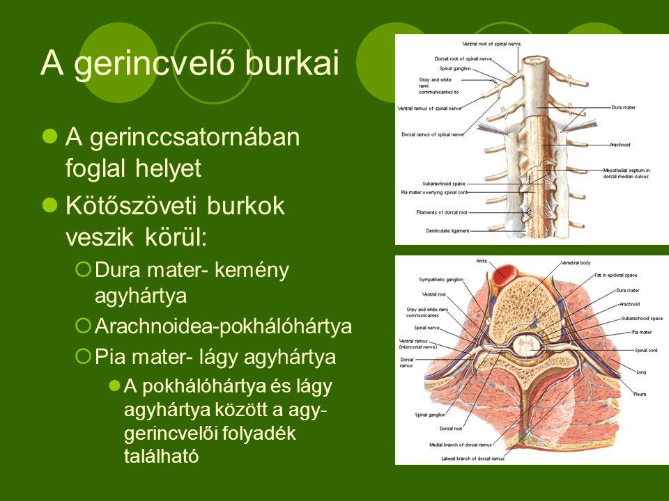 A gerincvelő külső szerkezete A C1-L2 terjed Végfonal a keresztcsonthoz rögzül  A gerincvelői idegekkel együtt a lófarkot képezi Nyaki és ágyéki csomók Oldalt a gerincvelői idegek kilépési helye Két gv.i.