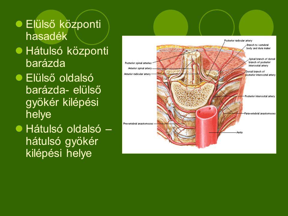 A gerincvelő belső szerkezete Középen szürkeállomány –idegsejtek perikarionja, velőhüvely nélküli idegrostok  Elülső szarv – szomatomotoros idegsejtek  Oldalsó szarv Elülső része – vegetatív mozgató idegsejtek Hátulsó része- vegetatív érző sejtek  Hátulsó szarv – szomatoszenzoros idegsejtek  Központi csatorna Körülötte fehérállomány- felszálló és leszálló pályák (idegrostok, idegsejtek nyúlványai)  Elülső köteg  Középső köteg  Hátulsó köteg