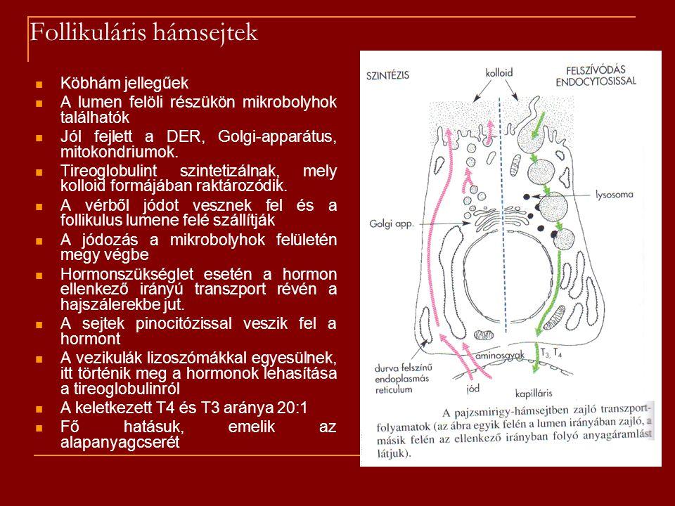 Follikuláris hámsejtek Köbhám jellegűek A lumen felöli részükön mikrobolyhok találhatók Jól fejlett a DER, Golgi-apparátus, mitokondriumok. Tireoglobu