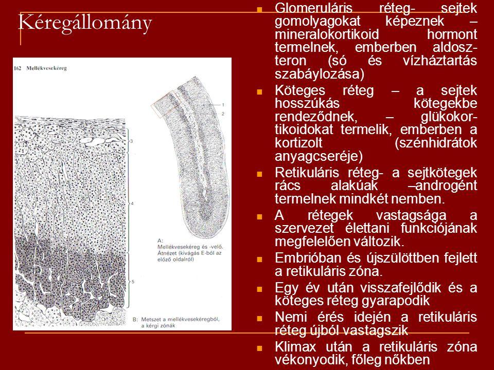 Kéregállomány Glomeruláris réteg- sejtek gomolyagokat képeznek – mineralokortikoid hormont termelnek, emberben aldosz- teron (só és vízháztartás szabá