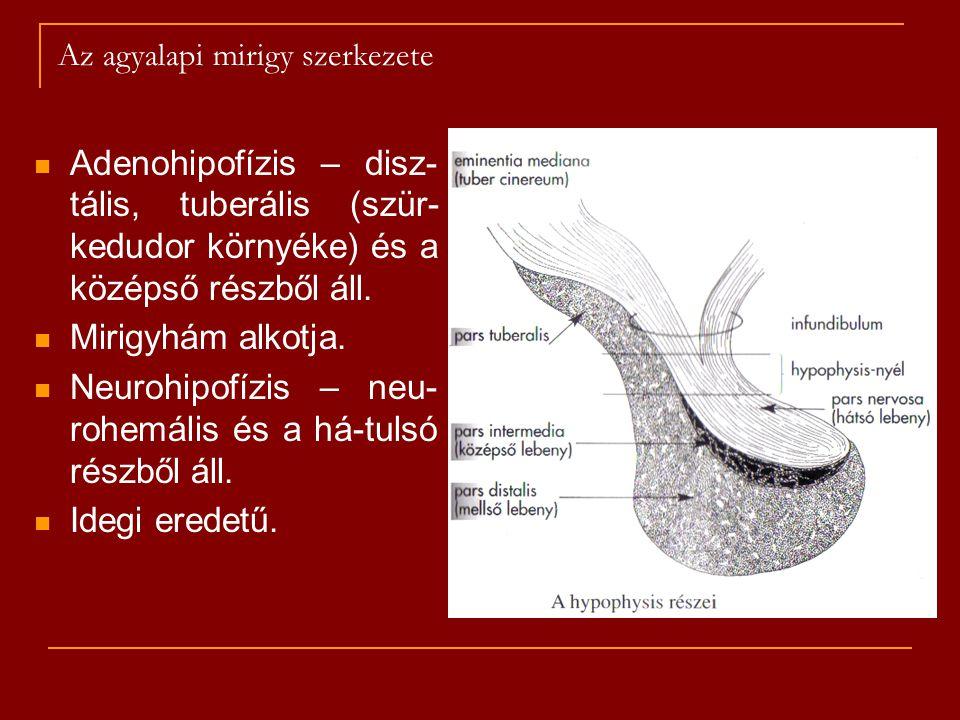 Az agyalapi mirigy szerkezete Adenohipofízis – disz- tális, tuberális (szür- kedudor környéke) és a középső részből áll. Mirigyhám alkotja. Neurohipof