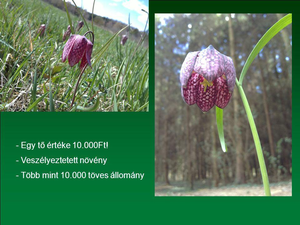 - Egy tő értéke 10.000Ft! - Veszélyeztetett növény - Több mint 10.000 töves állomány