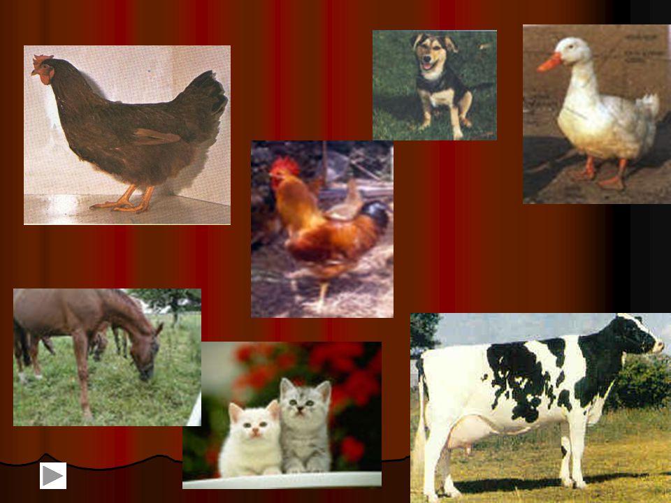 Hasznosságuk Tejet és húst ad Tejet és húst ad Őrzi a házat Őrzi a házat Gyapjút ad, stb.