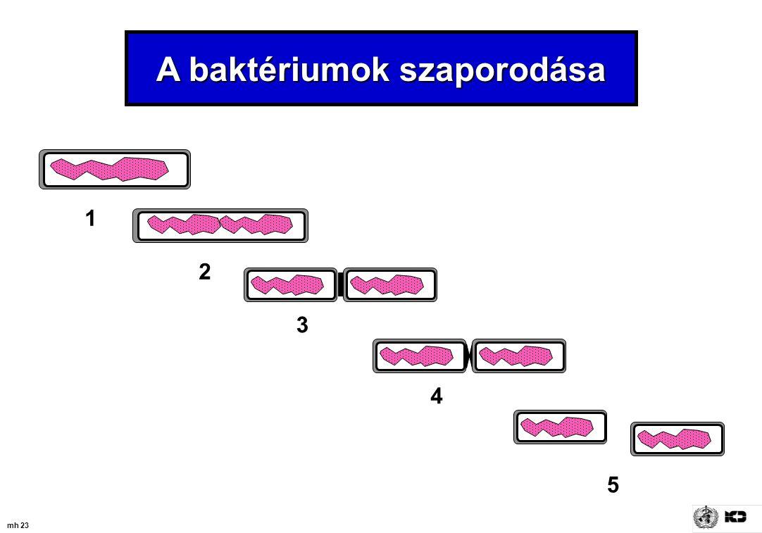 mh 23 A baktériumok szaporodása 1 2 3 4 5