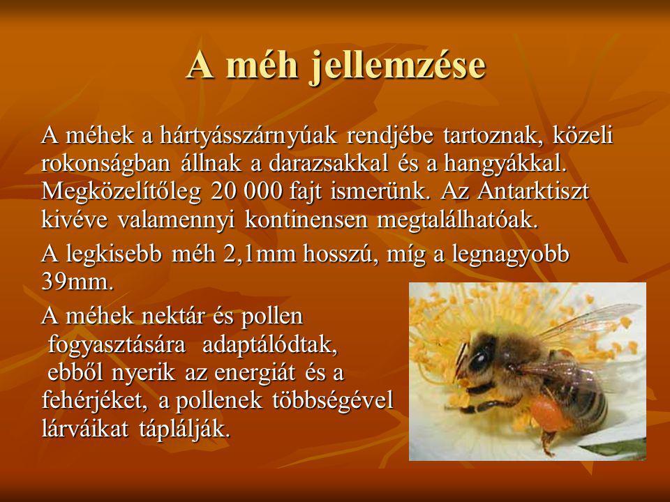A méh jellemzése A méhek a hártyásszárnyúak rendjébe tartoznak, közeli rokonságban állnak a darazsakkal és a hangyákkal. Megközelítőleg 20 000 fajt is