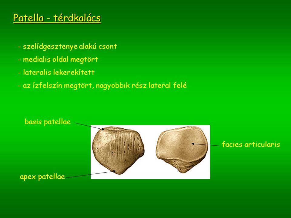 Patella - térdkalács - szelídgesztenye alakú csont - medialis oldal megtört - lateralis lekerekített - az ízfelszín megtört, nagyobbik rész lateral fe