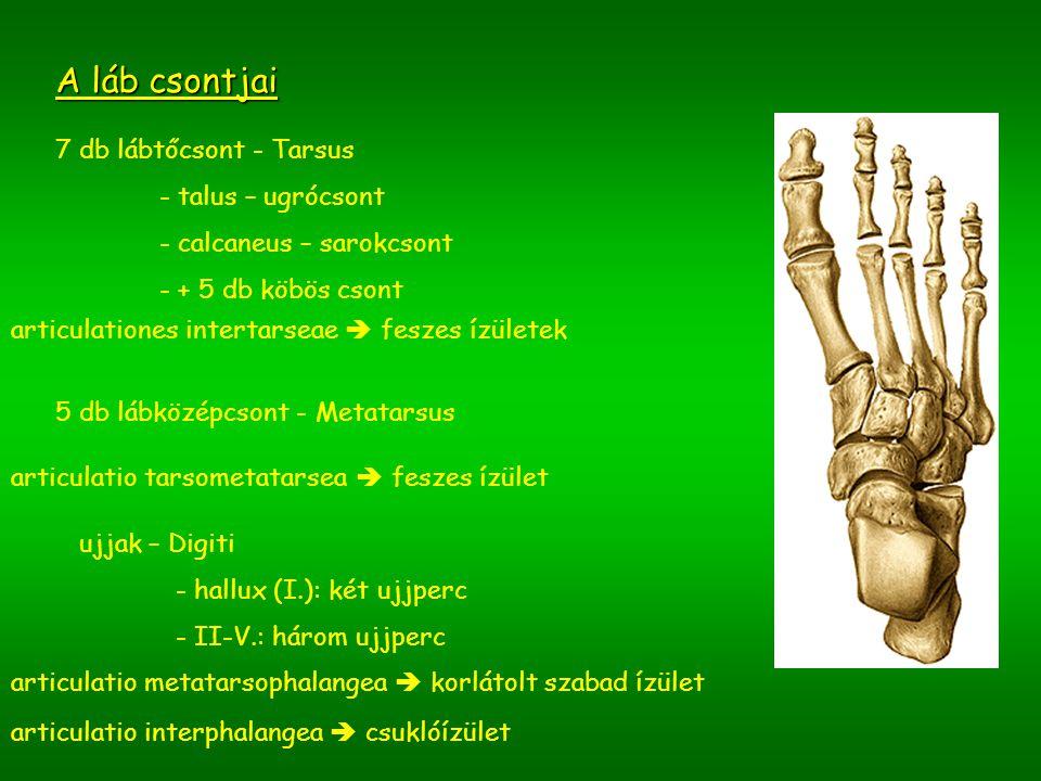 A láb csontjai 7 db lábtőcsont - Tarsus - talus – ugrócsont - calcaneus – sarokcsont - + 5 db köbös csont 5 db lábközépcsont - Metatarsus ujjak – Digi