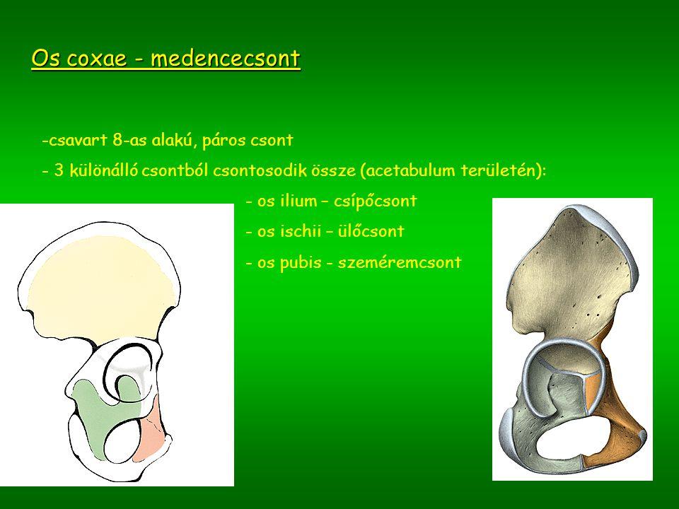1.Os ilium – csípőcsont -előre és medial felé kivájt, felülnézetben enyhén S alakú csont -részei: ala ossis ilii - csípőlapát crista iliaca – csípőtaréj (4 csípőtövis) spina iliaca anterior superior spina iliaca anterior inferior spina iliaca posterior superior spina iliaca posterior inferior facies auricularis incisura ischiadica major linea arcuata (a kismedence – pelvis minor – bemenetét alkotja) corpus ossis ilii hasizmok tapadási helye tuberositas iliaca