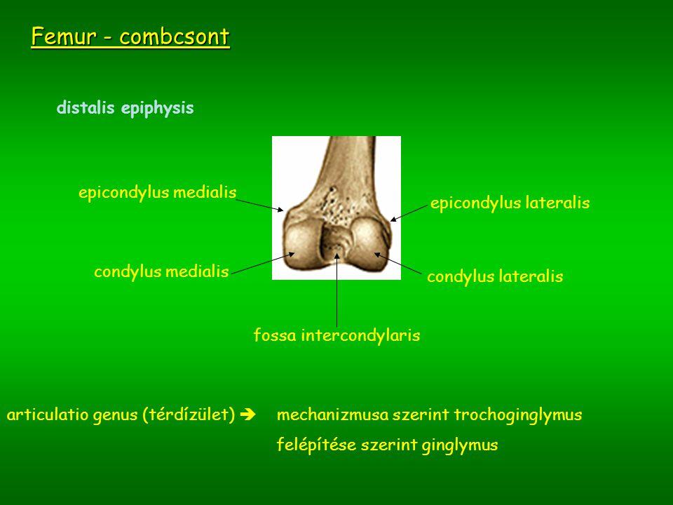 Patella - térdkalács - szelídgesztenye alakú csont - medialis oldal megtört - lateralis lekerekített - az ízfelszín megtört, nagyobbik rész lateral felé basis patellae apex patellae facies articularis
