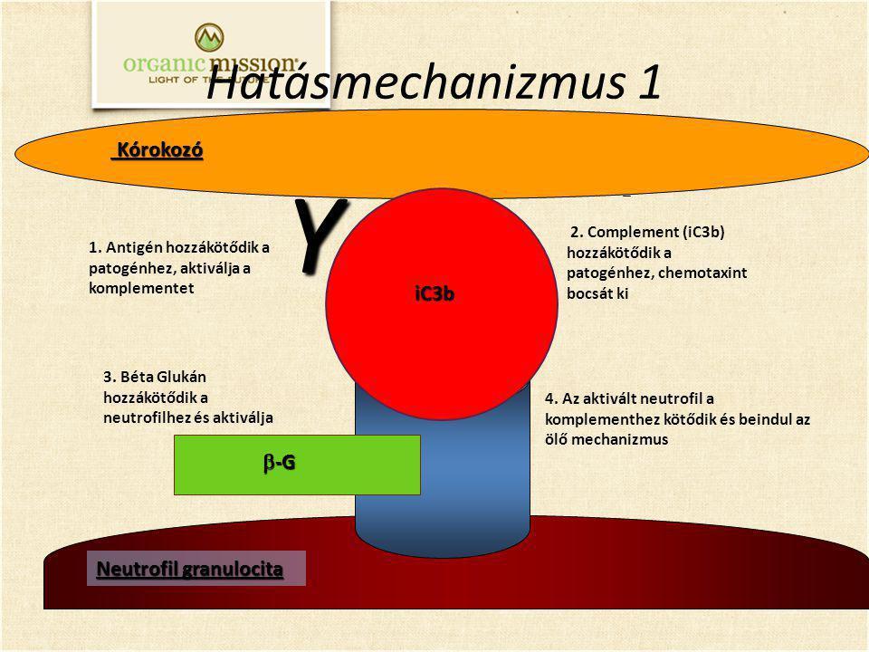 Neutrofil granulocita 3. Béta Glukán hozzákötődik a neutrofilhez és aktiválja 2. Complement (iC3b) hozzákötődik a patogénhez, chemotaxint bocsát ki Kó