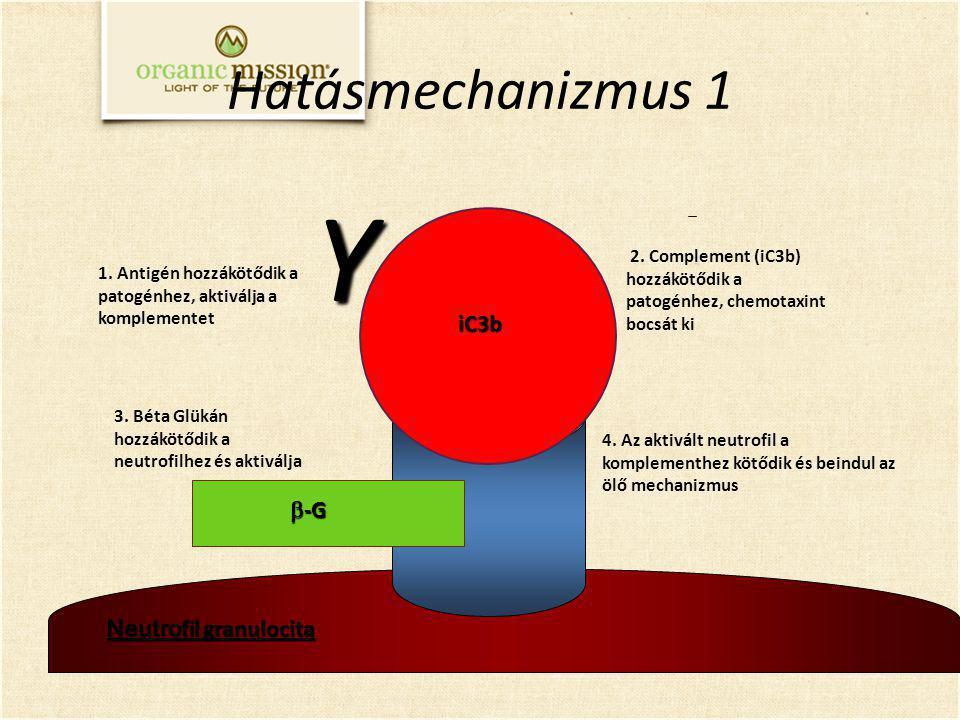 Neutro fil granulocita 3. Béta Glükán hozzákötődik a neutrofilhez és aktiválja 2. Complement (iC3b) hozzákötődik a patogénhez, chemotaxint bocsát ki 1