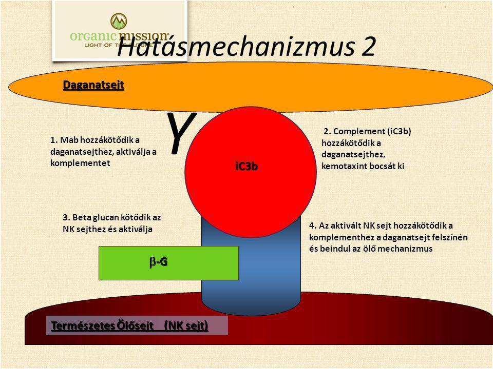 Természetes Ölősejt (NK sejt) 3. Beta glucan kötődik az NK sejthez és aktiválja 2. Complement (iC3b) hozzákötődik a daganatsejthez, kemotaxint bocsát