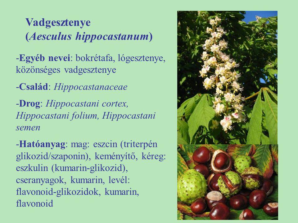 Vadgesztenye (Aesculus hippocastanum) -Egyéb nevei: bokrétafa, lógesztenye, közönséges vadgesztenye -Család: Hippocastanaceae -Drog: Hippocastani cort