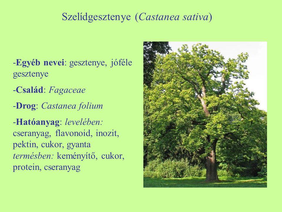 Szelídgesztenye (Castanea sativa) -Egyéb nevei: gesztenye, jóféle gesztenye -Család: Fagaceae -Drog: Castanea folium -Hatóanyag: levelében: cseranyag,