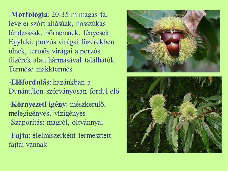 -Morfológia: 20-35 m magas fa, levelei szórt állásúak, hosszúkás lándzsásak, bőrneműek, fényesek. Egylaki, porzós virágai füzérekben ülnek, termős vir