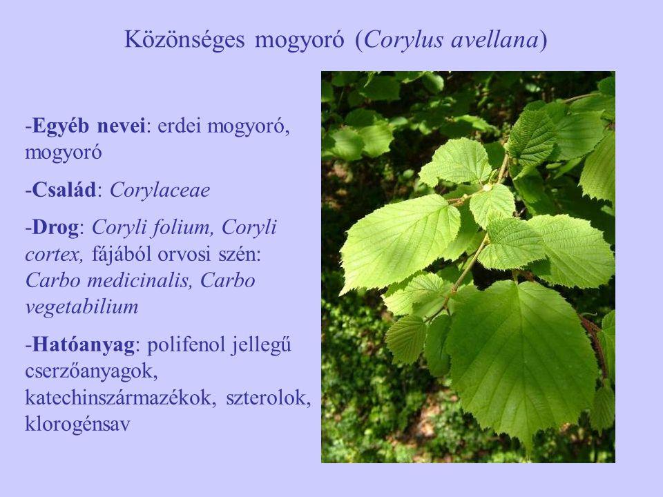 Közönséges mogyoró (Corylus avellana) -Egyéb nevei: erdei mogyoró, mogyoró -Család: Corylaceae -Drog: Coryli folium, Coryli cortex, fájából orvosi szé