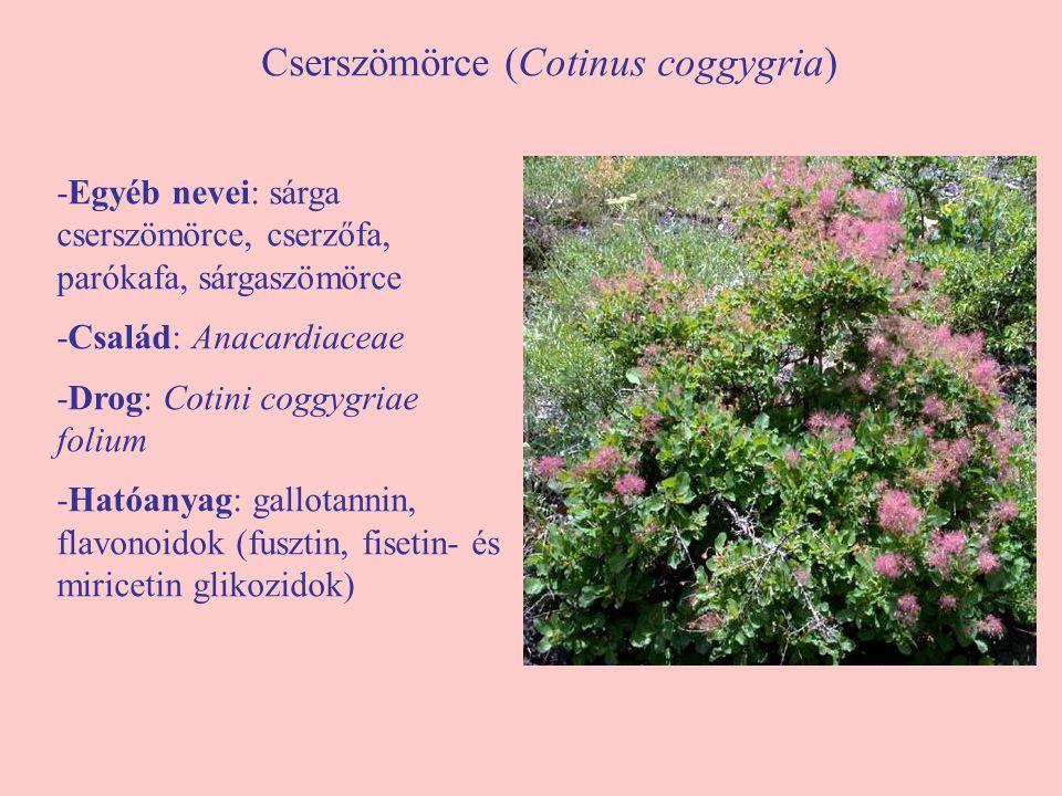 Cserszömörce (Cotinus coggygria) -Egyéb nevei: sárga cserszömörce, cserzőfa, parókafa, sárgaszömörce -Család: Anacardiaceae -Drog: Cotini coggygriae f