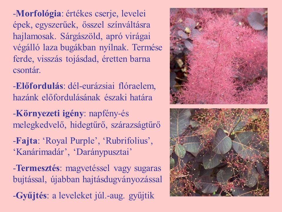 -Morfológia: értékes cserje, levelei épek, egyszerűek, ősszel színváltásra hajlamosak. Sárgászöld, apró virágai végálló laza bugákban nyílnak. Termése