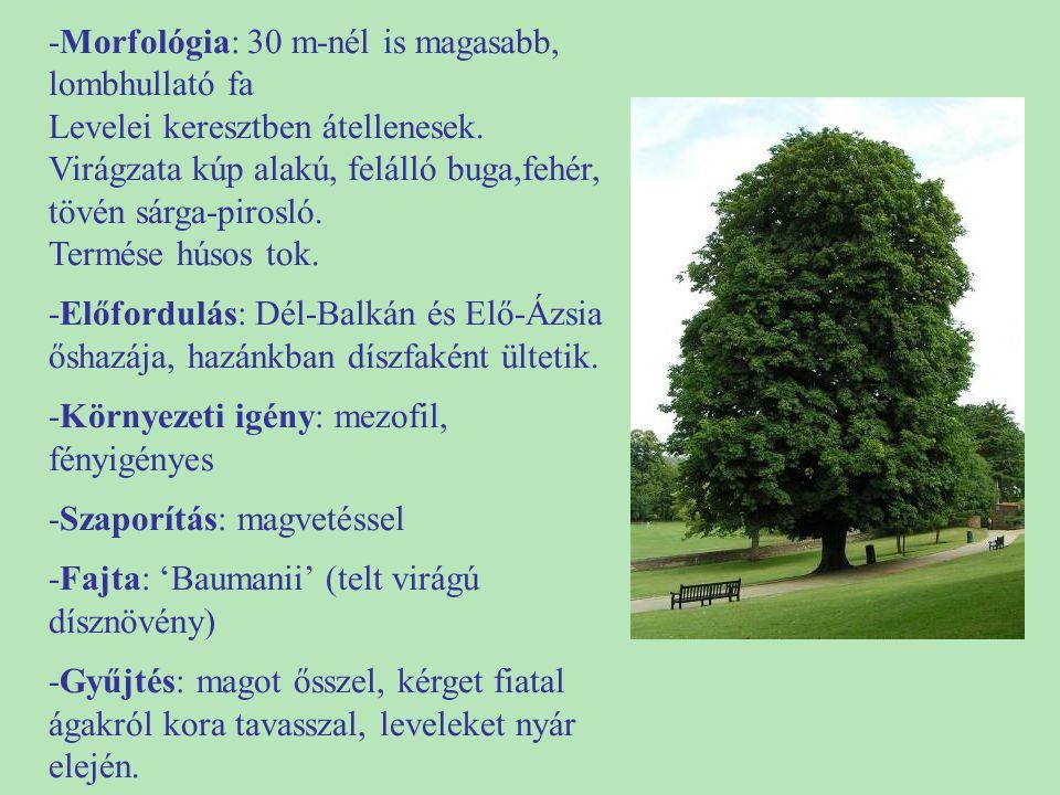 -Morfológia: 30 m-nél is magasabb, lombhullató fa Levelei keresztben átellenesek. Virágzata kúp alakú, felálló buga,fehér, tövén sárga-pirosló. Termés