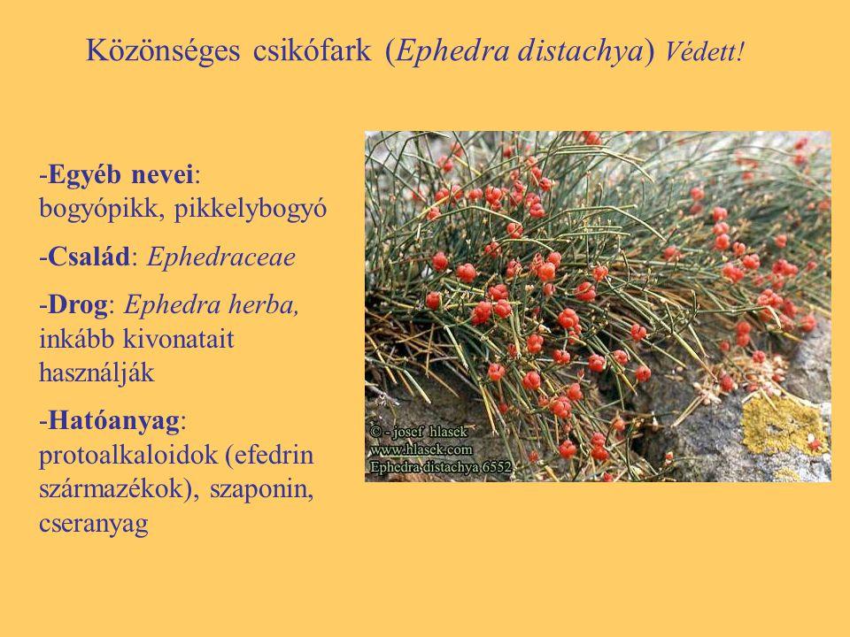Közönséges csikófark (Ephedra distachya) Védett! -Egyéb nevei: bogyópikk, pikkelybogyó -Család: Ephedraceae -Drog: Ephedra herba, inkább kivonatait ha