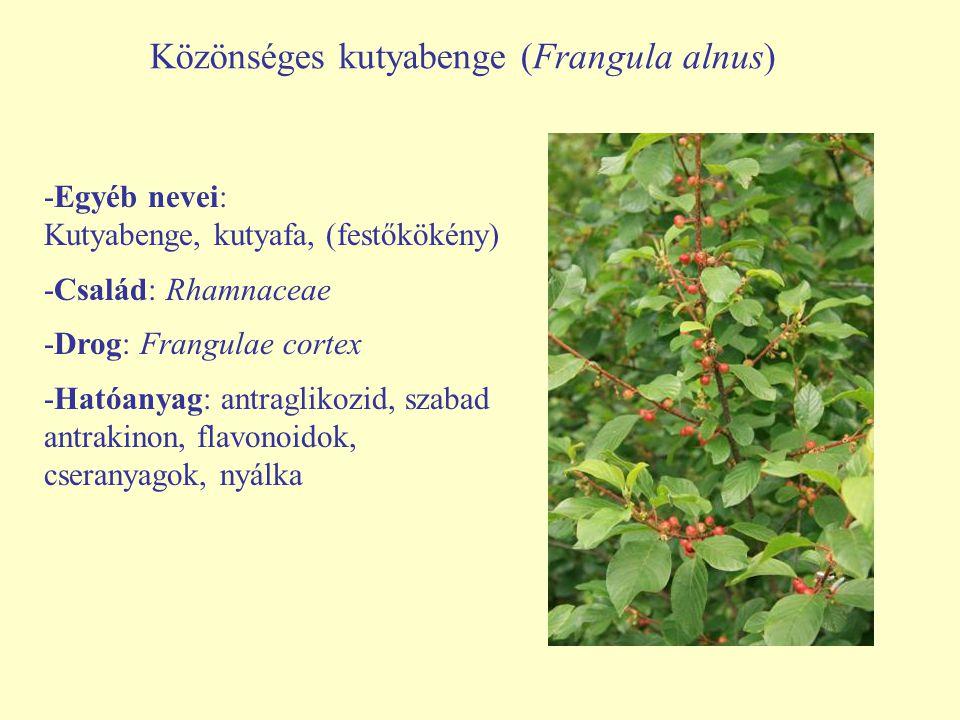 Közönséges kutyabenge (Frangula alnus) -Egyéb nevei: Kutyabenge, kutyafa, (festőkökény) -Család: Rhamnaceae -Drog: Frangulae cortex -Hatóanyag: antrag