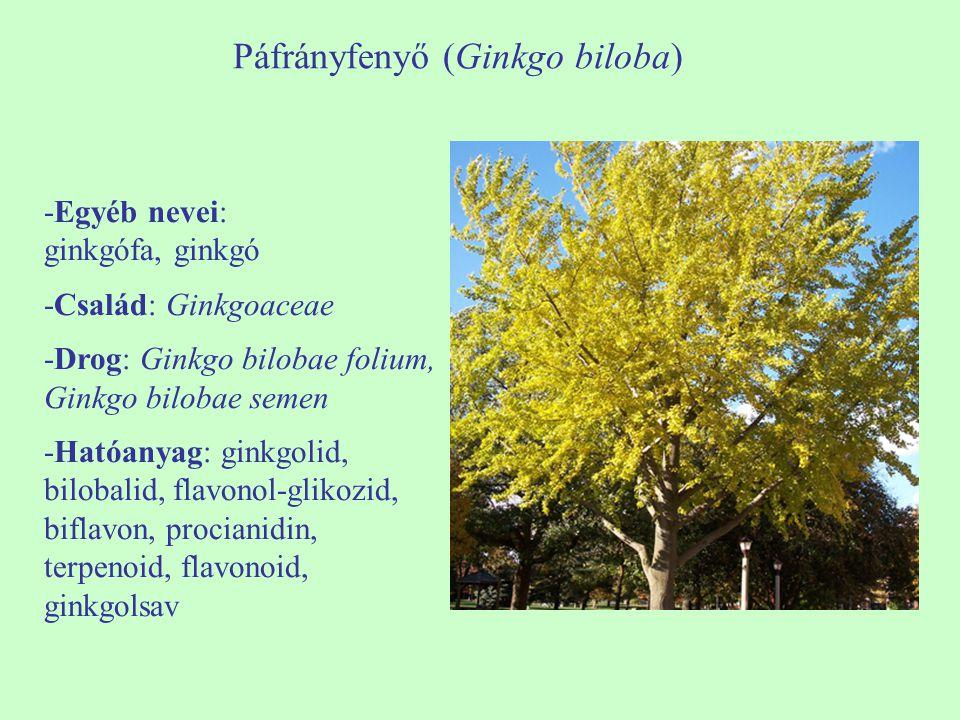 Páfrányfenyő (Ginkgo biloba) -Egyéb nevei: ginkgófa, ginkgó -Család: Ginkgoaceae -Drog: Ginkgo bilobae folium, Ginkgo bilobae semen -Hatóanyag: ginkgo