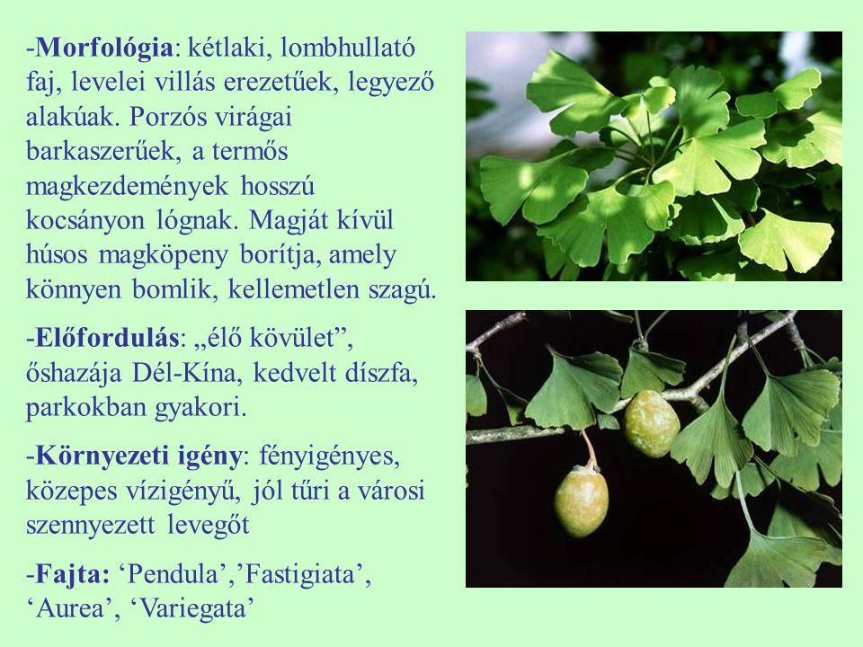 -Morfológia: kétlaki, lombhullató faj, levelei villás erezetűek, legyező alakúak. Porzós virágai barkaszerűek, a termős magkezdemények hosszú kocsányo