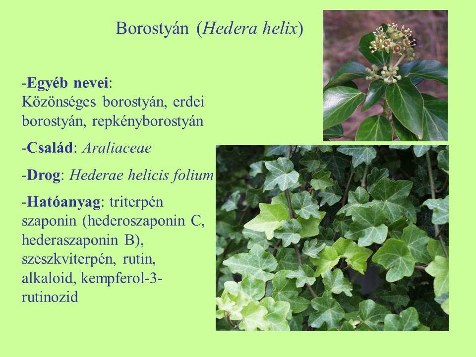 Borostyán (Hedera helix) -Egyéb nevei: Közönséges borostyán, erdei borostyán, repkényborostyán -Család: Araliaceae -Drog: Hederae helicis folium -Ható