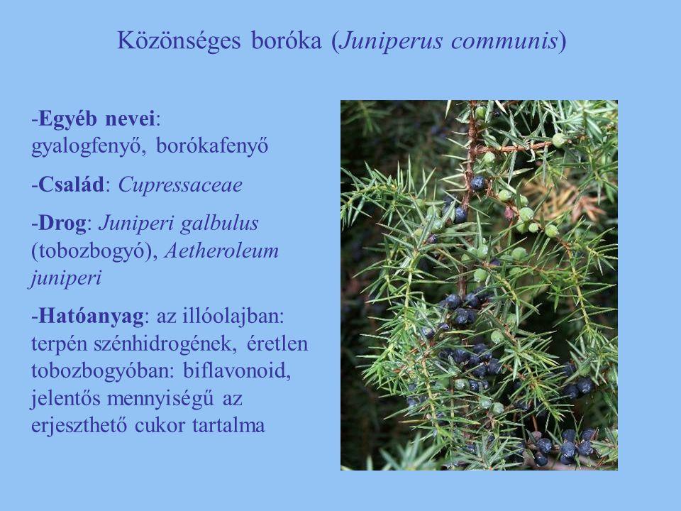 Közönséges boróka (Juniperus communis) -Egyéb nevei: gyalogfenyő, borókafenyő -Család: Cupressaceae -Drog: Juniperi galbulus (tobozbogyó), Aetheroleum