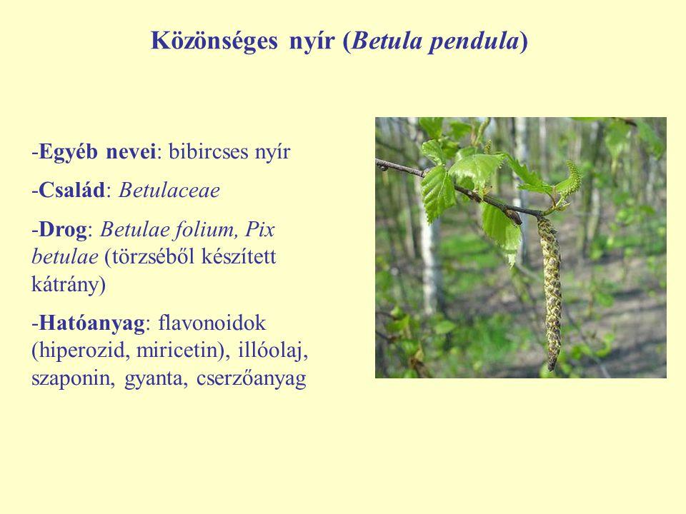 Közönséges nyír (Betula pendula) -Egyéb nevei: bibircses nyír -Család: Betulaceae -Drog: Betulae folium, Pix betulae (törzséből készített kátrány) -Ha