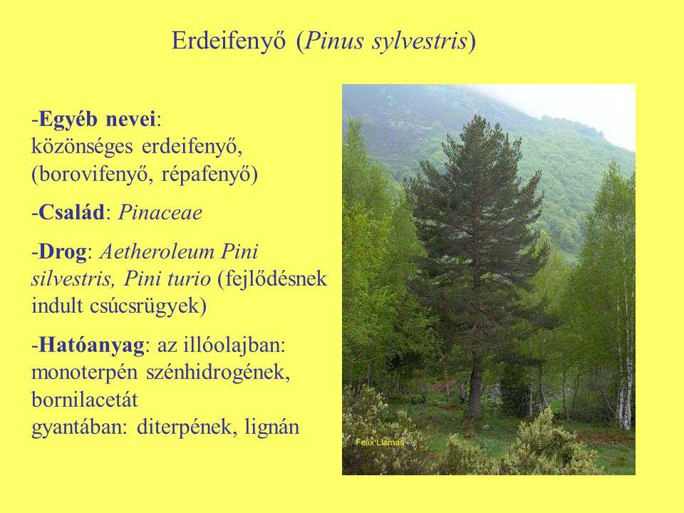 Erdeifenyő (Pinus sylvestris) -Egyéb nevei: közönséges erdeifenyő, (borovifenyő, répafenyő) -Család: Pinaceae -Drog: Aetheroleum Pini silvestris, Pini
