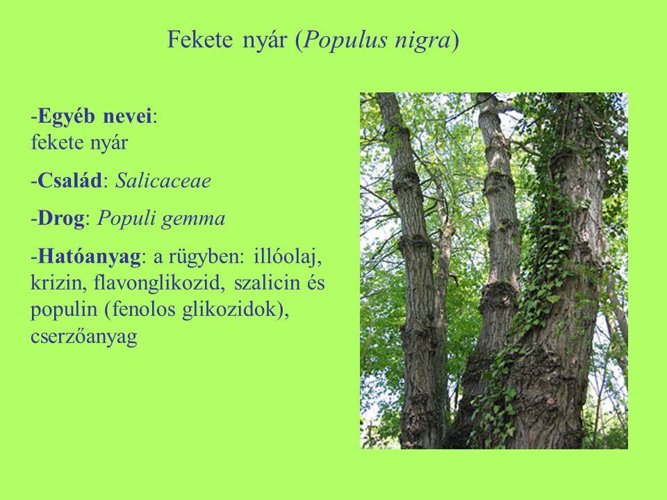Fekete nyár (Populus nigra) -Egyéb nevei: fekete nyár -Család: Salicaceae -Drog: Populi gemma -Hatóanyag: a rügyben: illóolaj, krizin, flavonglikozid,