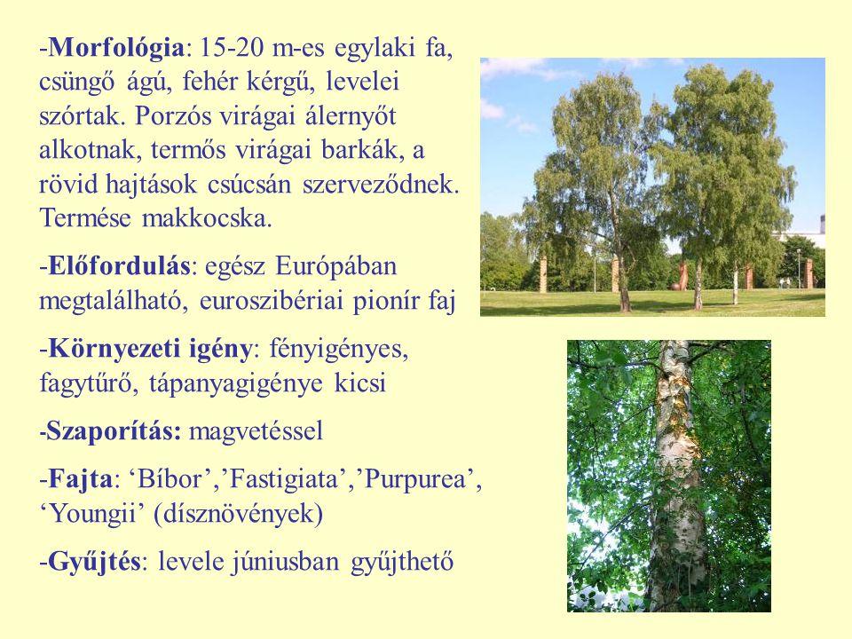-Morfológia: 15-20 m-es egylaki fa, csüngő ágú, fehér kérgű, levelei szórtak. Porzós virágai álernyőt alkotnak, termős virágai barkák, a rövid hajtáso
