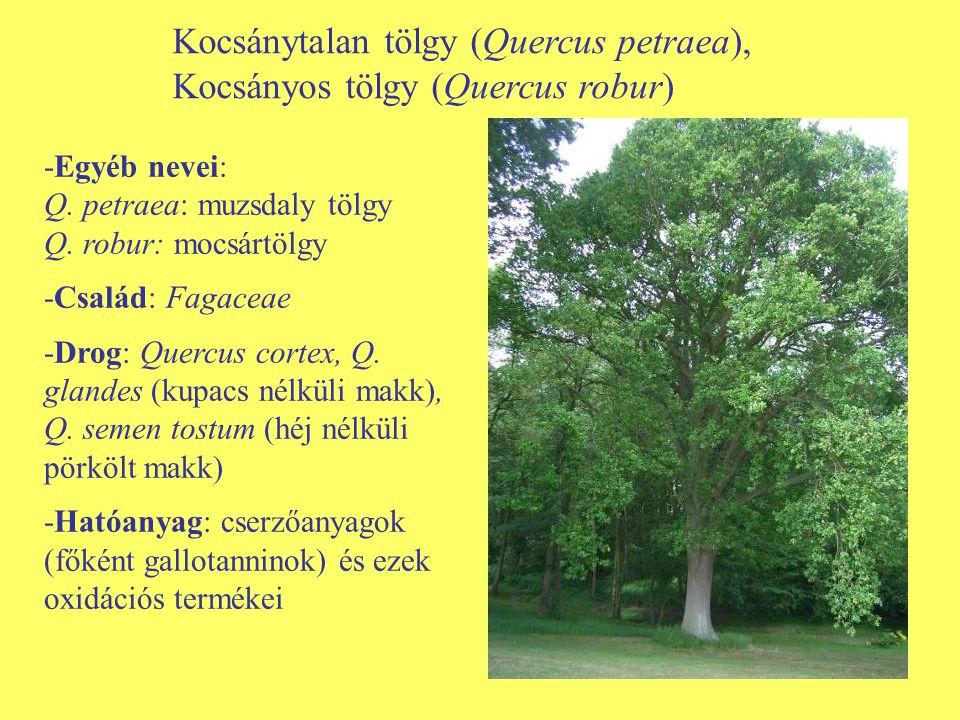 Kocsánytalan tölgy (Quercus petraea), Kocsányos tölgy (Quercus robur) -Egyéb nevei: Q. petraea: muzsdaly tölgy Q. robur: mocsártölgy -Család: Fagaceae