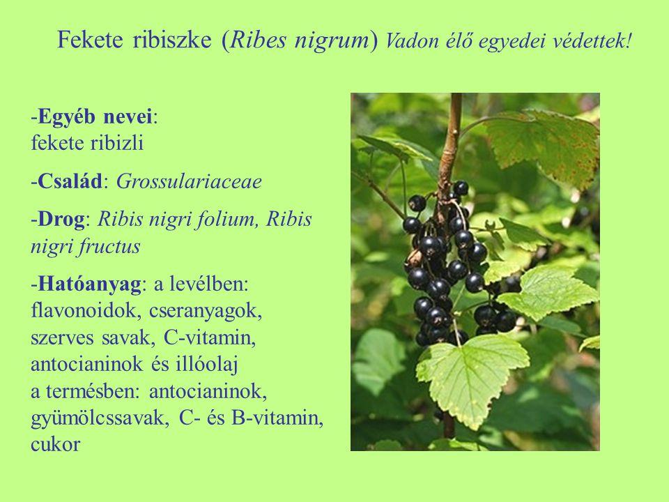 Fekete ribiszke (Ribes nigrum) Vadon élő egyedei védettek! -Egyéb nevei: fekete ribizli -Család: Grossulariaceae -Drog: Ribis nigri folium, Ribis nigr