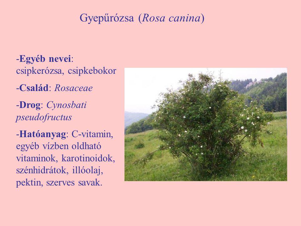 Gyepűrózsa (Rosa canina) -Egyéb nevei: csipkerózsa, csipkebokor -Család: Rosaceae -Drog: Cynosbati pseudofructus -Hatóanyag: C-vitamin, egyéb vízben o