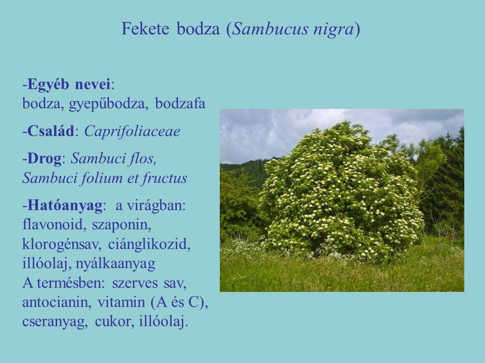 Fekete bodza (Sambucus nigra) -Egyéb nevei: bodza, gyepűbodza, bodzafa -Család: Caprifoliaceae -Drog: Sambuci flos, Sambuci folium et fructus -Hatóany