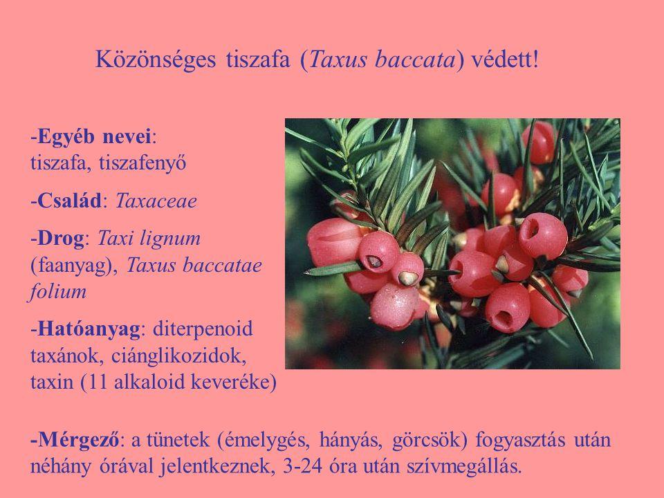 Közönséges tiszafa (Taxus baccata) védett! -Egyéb nevei: tiszafa, tiszafenyő -Család: Taxaceae -Drog: Taxi lignum (faanyag), Taxus baccatae folium -Ha