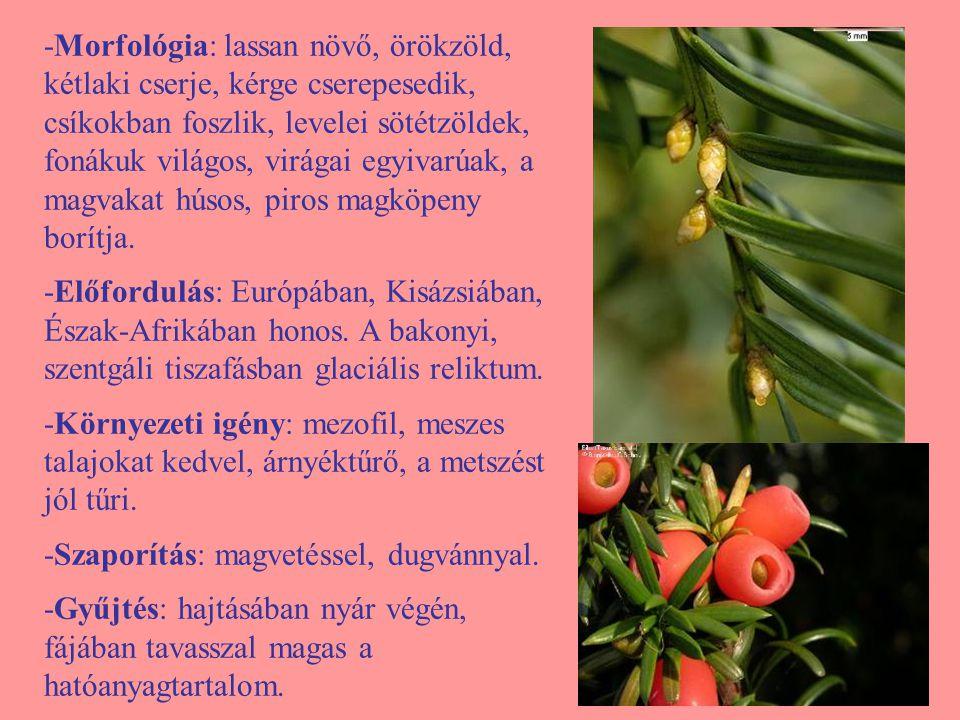 -Morfológia: lassan növő, örökzöld, kétlaki cserje, kérge cserepesedik, csíkokban foszlik, levelei sötétzöldek, fonákuk világos, virágai egyivarúak, a