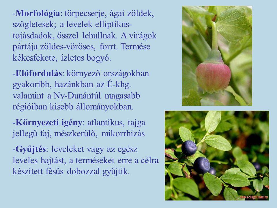 -Morfológia: törpecserje, ágai zöldek, szögletesek; a levelek elliptikus- tojásdadok, ősszel lehullnak. A virágok pártája zöldes-vöröses, forrt. Termé