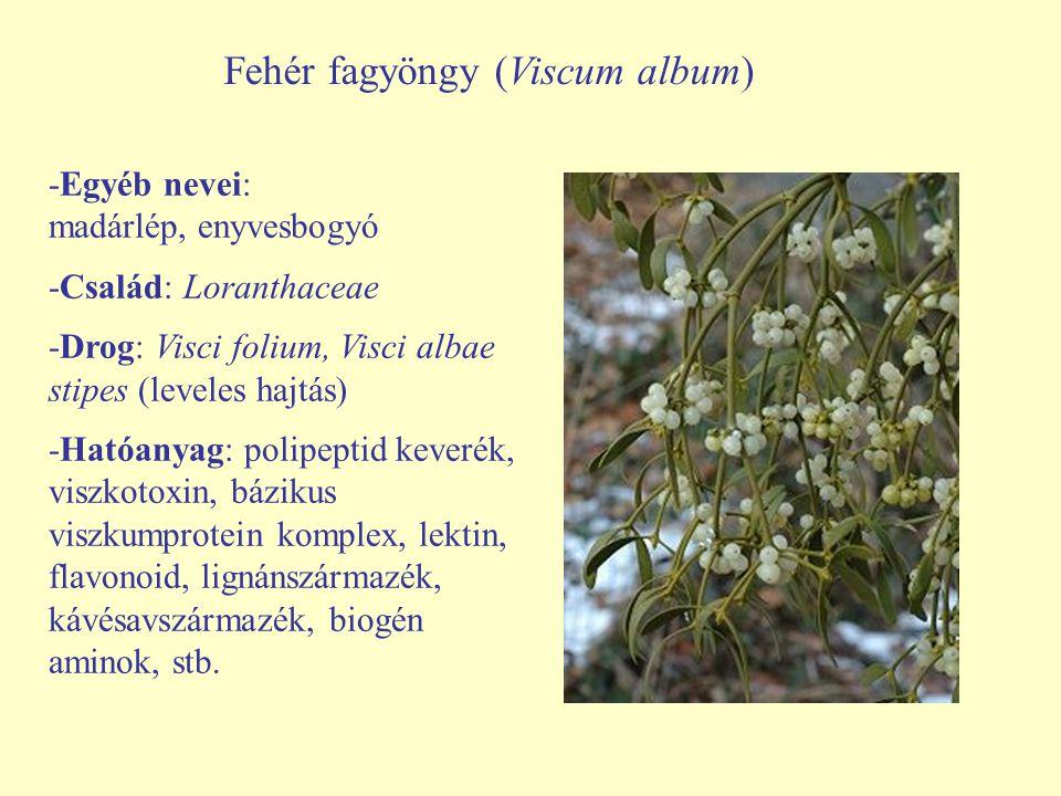 Fehér fagyöngy (Viscum album) -Egyéb nevei: madárlép, enyvesbogyó -Család: Loranthaceae -Drog: Visci folium, Visci albae stipes (leveles hajtás) -Ható