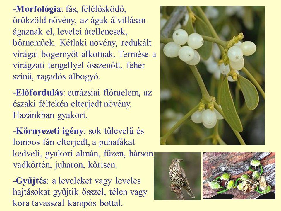 -Morfológia: fás, félélősködő, örökzöld növény, az ágak álvillásan ágaznak el, levelei átellenesek, bőrneműek. Kétlaki növény, redukált virágai bogern