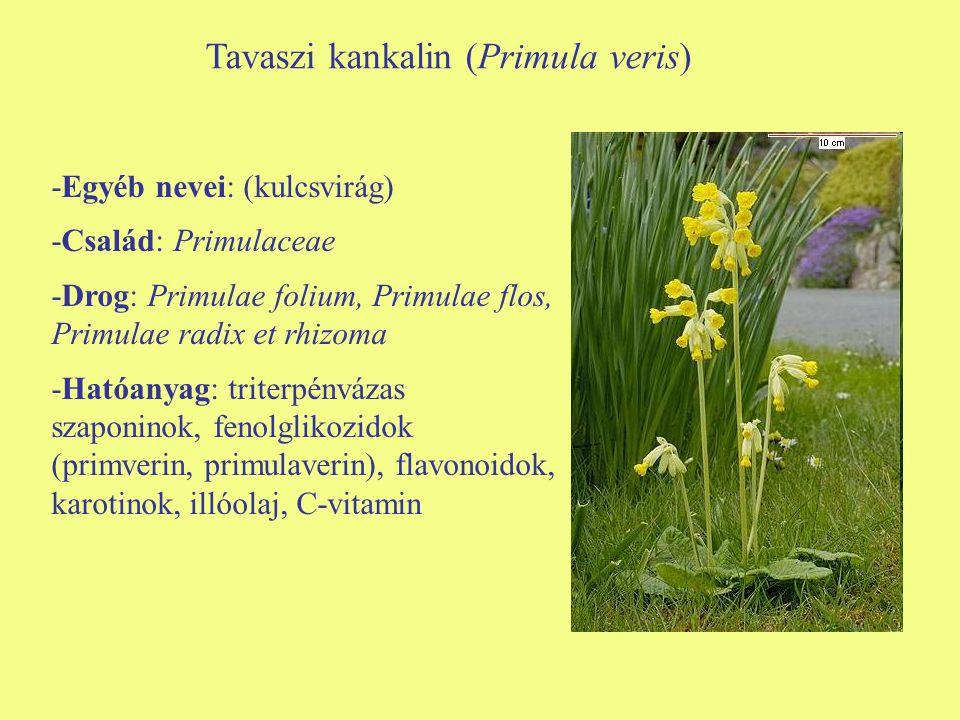 Tavaszi kankalin (Primula veris) -Egyéb nevei: (kulcsvirág) -Család: Primulaceae -Drog: Primulae folium, Primulae flos, Primulae radix et rhizoma -Hatóanyag: triterpénvázas szaponinok, fenolglikozidok (primverin, primulaverin), flavonoidok, karotinok, illóolaj, C-vitamin