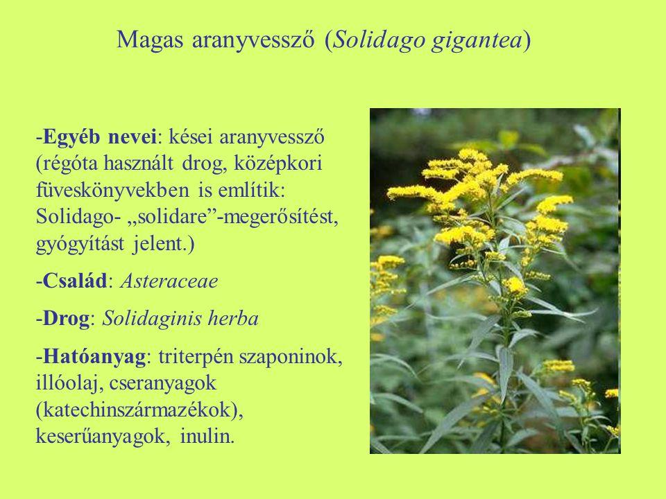 """Magas aranyvessző (Solidago gigantea) -Egyéb nevei: kései aranyvessző (régóta használt drog, középkori füveskönyvekben is említik: Solidago- """"solidare"""