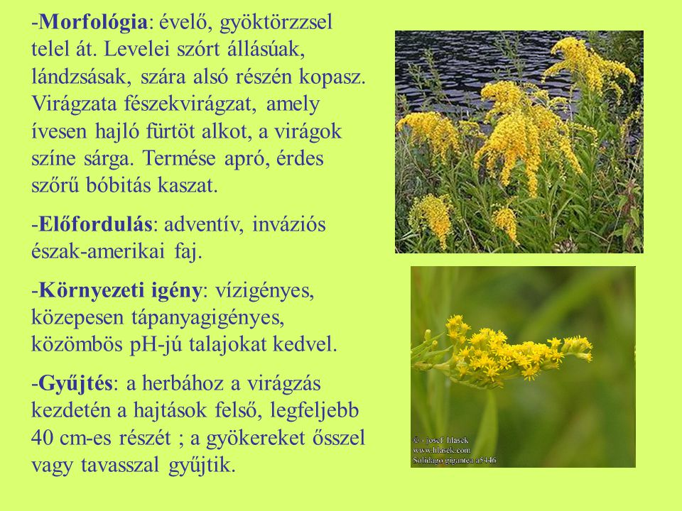 -Morfológia: évelő, gyöktörzzsel telel át. Levelei szórt állásúak, lándzsásak, szára alsó részén kopasz. Virágzata fészekvirágzat, amely ívesen hajló